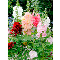 Hollyhock Seeds - Spring Celebrities Dwarf