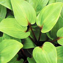 Hostas - Mixed x 3