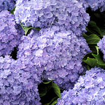 Hydrangea Plant - You and Me Passion Blue