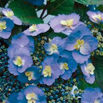 Hydrangea Plant - Blueberry Cheesecake