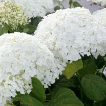 Hydrangea arborescens Plant - Strong Annabelle