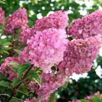 Hydrangea arborescens Plant - Strong Annabelle