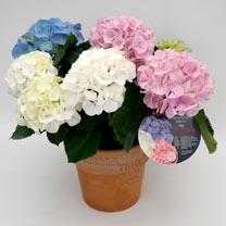 Hydrangea Plant - 'Trio'