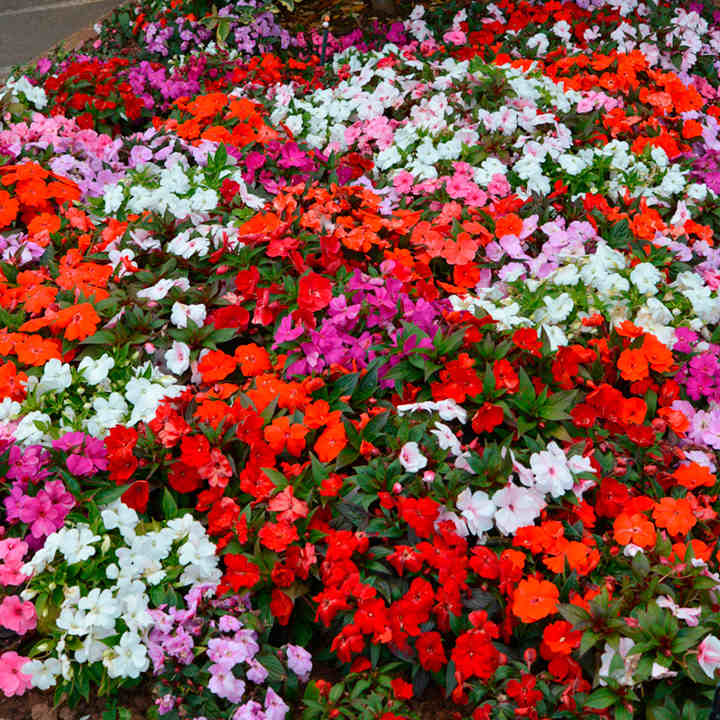 Impatiens plants new guinea florific dobies New guinea impatiens