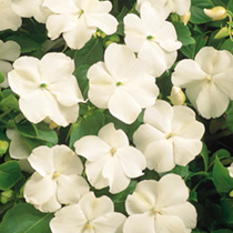 Impatiens Dobies Super Hybrid Seeds - Imperial White F1