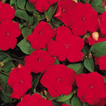 Impatiens Dobies Super Hybrid Seeds - Imperial Red F1