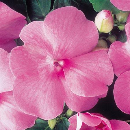 Impatiens Dobies Super Hybrid Seeds - Imperial Pink F1