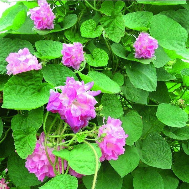 Ipomoea Seeds - Rosa Volant