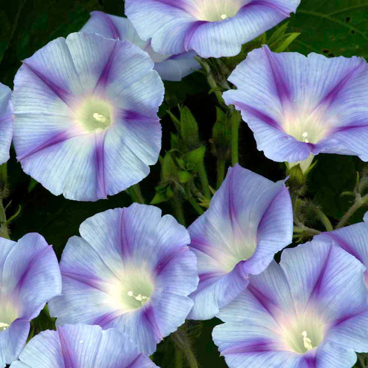 Ipomoea Seeds - Dacapo Light Blue