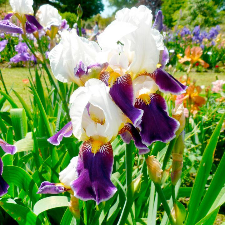 Iris Plant - Wabash