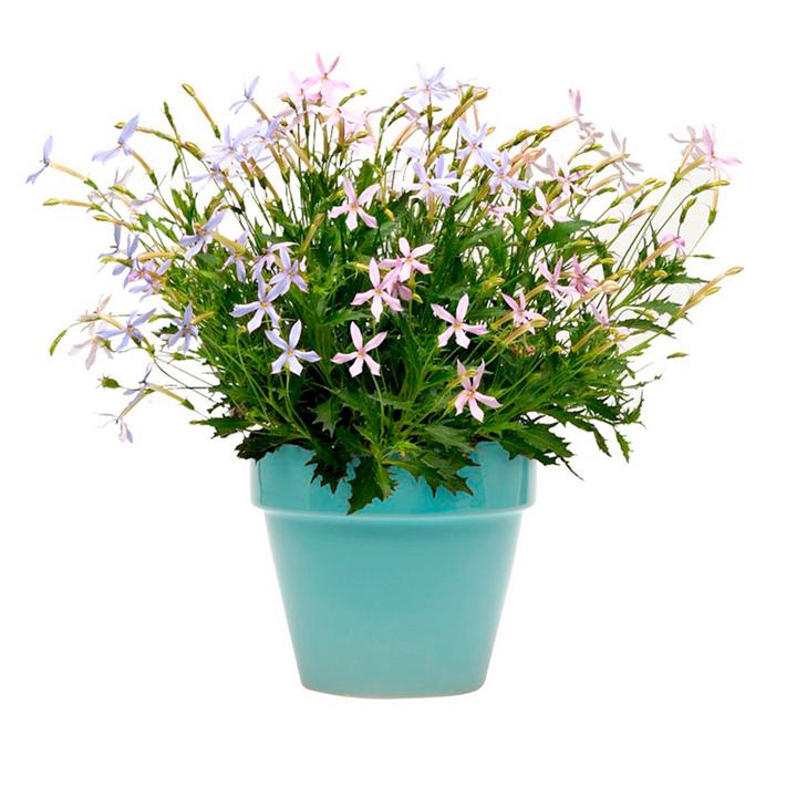 Isotoma Plants - Mixed