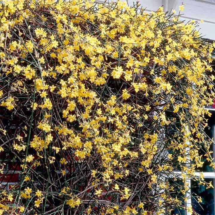 Jasminum nudiflorum Plant