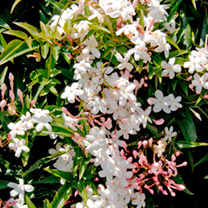 Jasminum officinale Plant - Affine