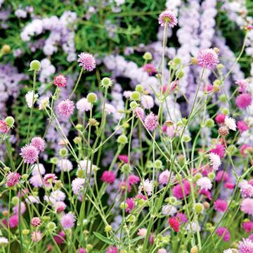 Knautia Plants - Melton Pastels