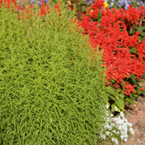 Kochia Seeds - Tricophylla