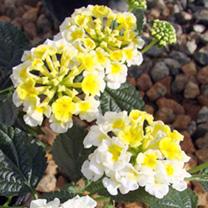 Lantana Plant - Sunny Side Up