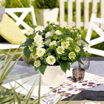 Lantana Plant - Lantropics White