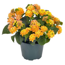 Lantana Plant - Lantropics Yellow/Orange/Rose
