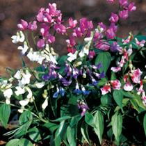 Lathyrus Vernus Rainbow Seeds