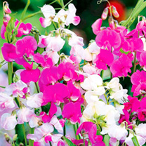 Lathyrus Latifolius Plants - Collection
