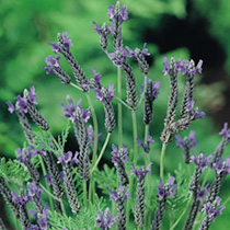 Lavender Seeds - Multifida Blue Wonder