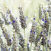 Lavender Bush Baby