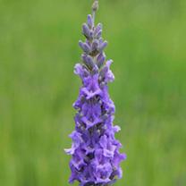 Lavender Plant - Heavenly Scent