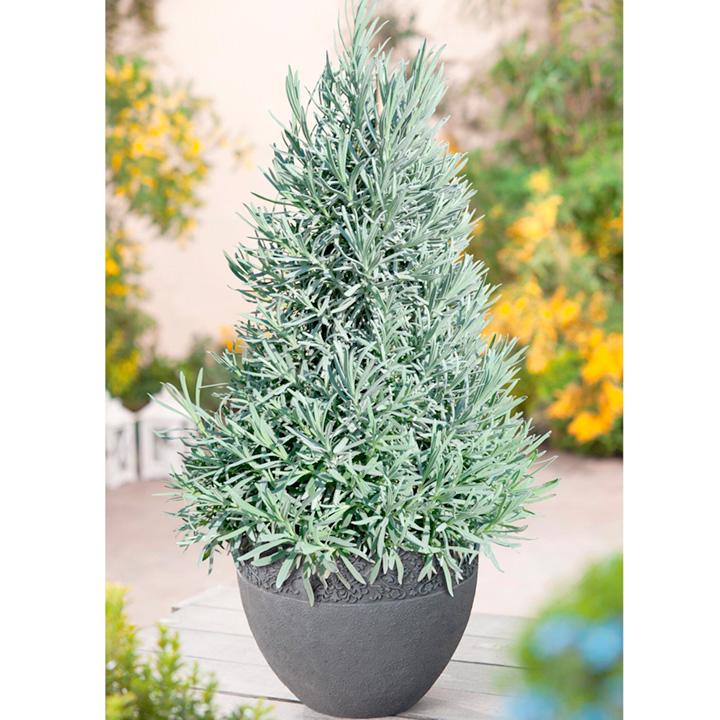 Lavender Pyramid Tree