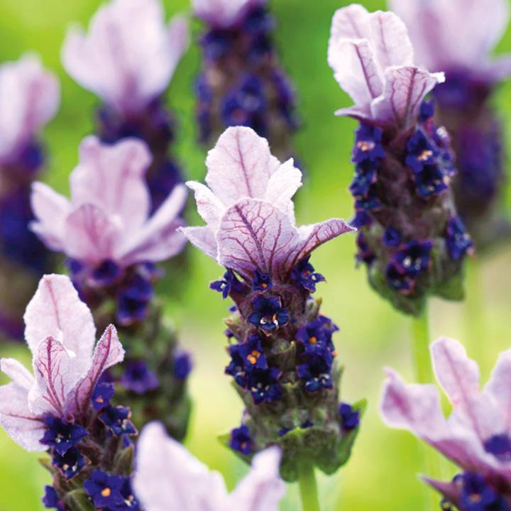 Lavender Plant - Rocky Road