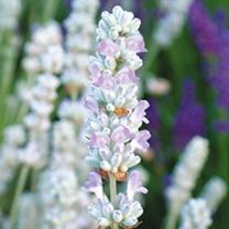Lavender Plant - Blue Ice