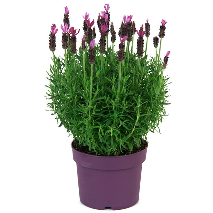 Lavender Plant - Anouk Pink