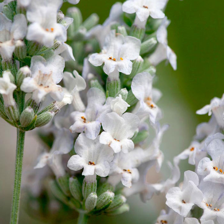 Lavender Plant - Heavenly Angel