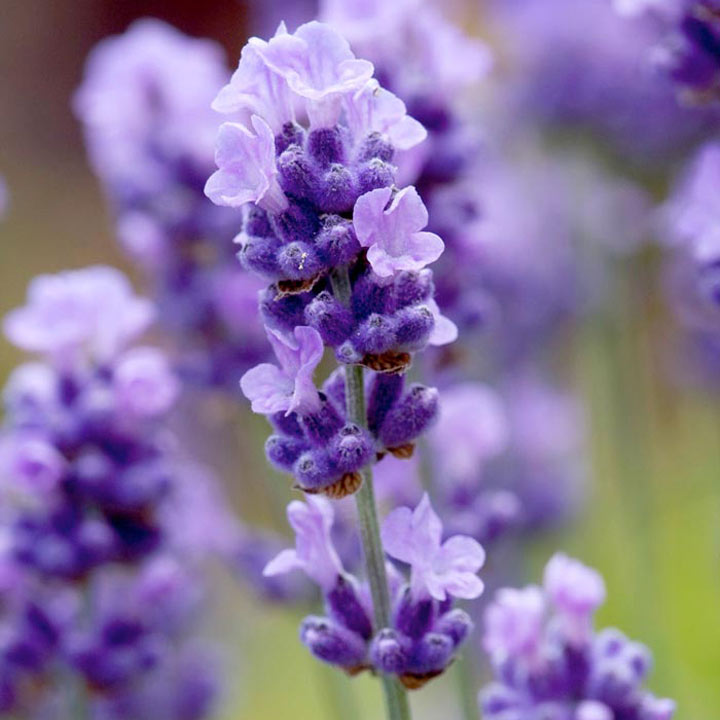 Lavender Plant - Mellisa Lilac