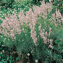 Lavender Plant - Rosea