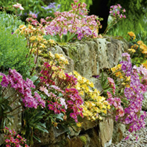 Lewisia Plants - Mix