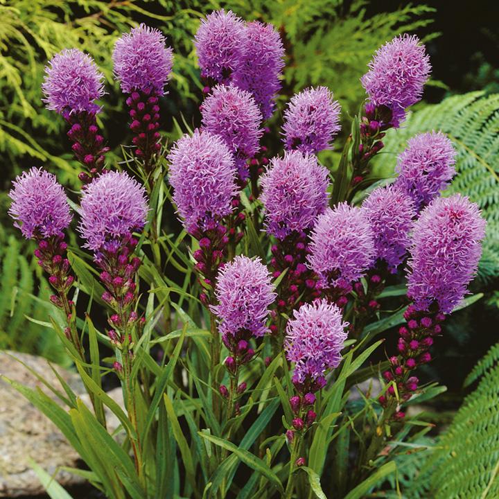 Liatris Plant - Kobold