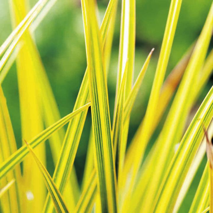 Libertia Plant - Goldfinger