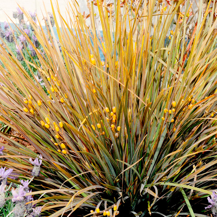 Libertia Plant - Taupo Blaze