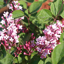 Lilac Plant - Tinkerbelle