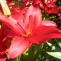 Lily Plant - Prunotto