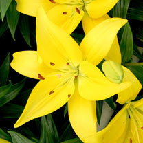 Lily Plant - Yellow County