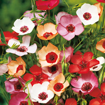Linum Seeds - Charmer Mixed
