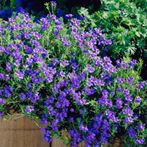 Lithodora Plant - Heavenly Blue