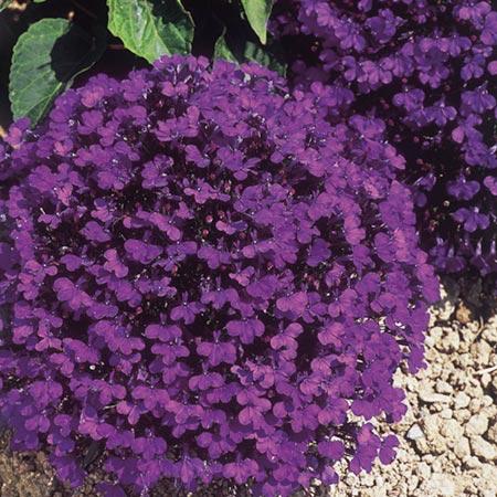 Lobelia Crystal Palace Plants Pack of 90 Miniplants