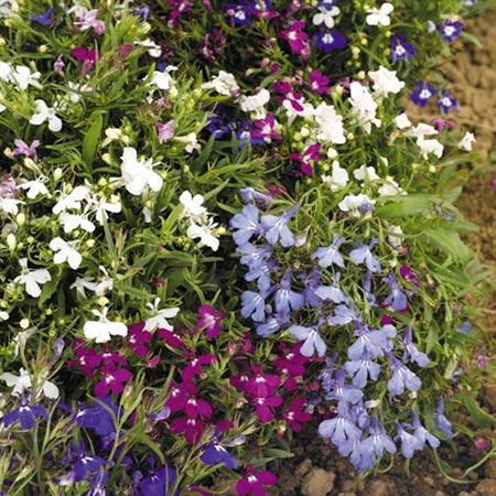 Lobelia Mixed Upright Plants Pack of 45 Miniplants
