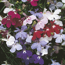 Lobelia Seeds - Fountain Series Light Blue