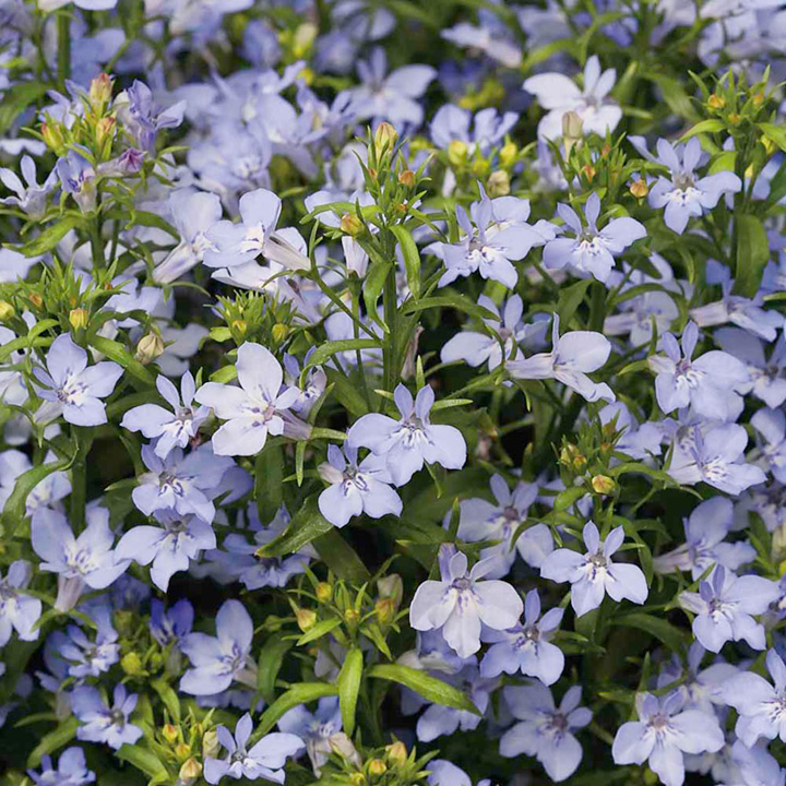 Lobelia Seeds - Light Blue