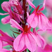 Lobelia cardinalis Plant - Princess Rose