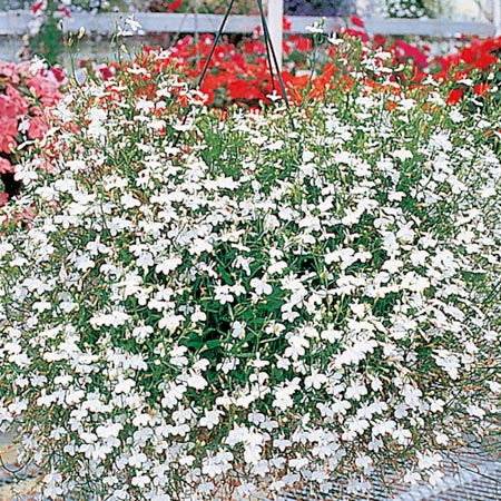 Lobelia Seeds - Fountain Series White