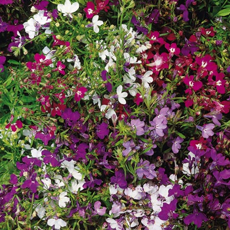 Lobelia Seeds - Regatta Mixed